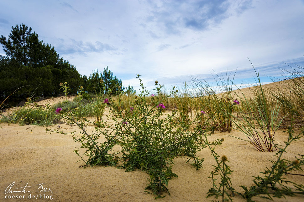 Die Sanddistel bahnt sich ihren Weg an die Oberfläche