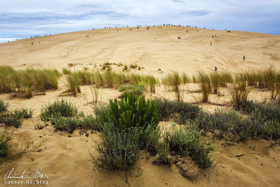 Die Vegetation am Rand der Wanderdüne, von hier aus wirken die Menschen auf der Spitze wie Ameisen