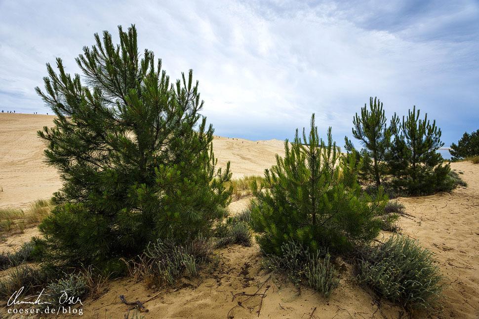 Zahlreiche Bäume, Sträucher und andere Pflanzen wachsen auch auf Sandboden
