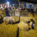 Ziegen und Schafe auf dem Weihnachtsmarkt Freiheitsplatz (Náměstí Svobody)