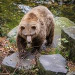 Einer von zwei Braunbären im Burggraben des Schlosses
