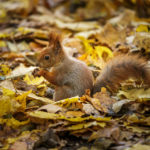 Ein Eichhörnchen im Warschauer Łazienki-Park
