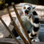 Ein Katta (Primatenart aus der Gruppe der Lemuren) im Freilichtmuseum Skansen