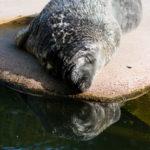 Eine Graue Robbe im Freilichtmuseum Skansen