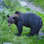 Ein Schwarzbär im Freilichtmuseum Skansen