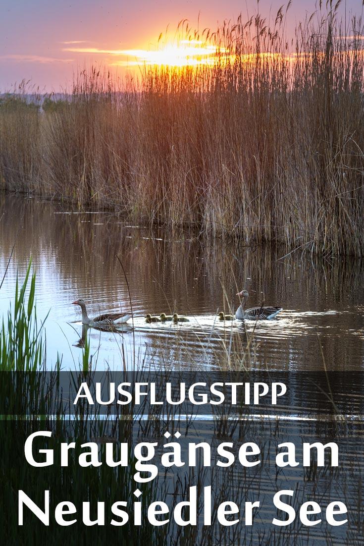 Nationalpark Neusiedler See – Seewinkel mit Erfahrungen zu Nationalparkführungen und Tipps zum Fotografieren von Graugänsen.