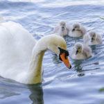 Eine Schwanenfamilie am Bleder See