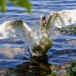 Ein Schwan sagt am Bleder See Hallo