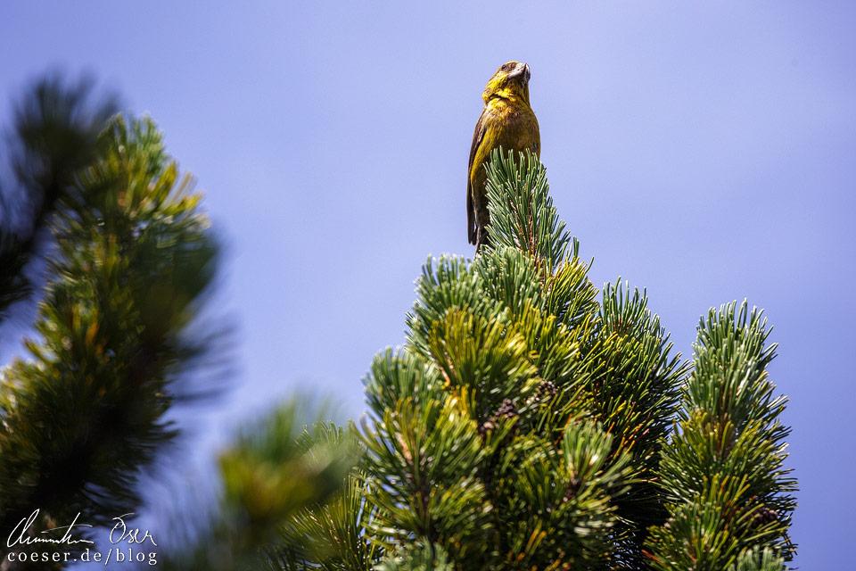 Falke auf dem Predigtstuhl