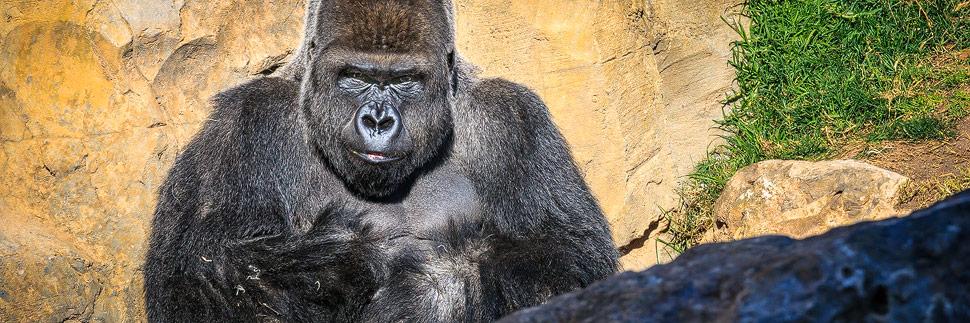 Gorilla im Bioparc von Valencia