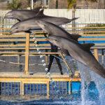 Die Delfinshow im Aquarium Oceanogràfic in der Stadt der Künste und Wissenschaften