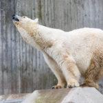 Ein Eisbär im Tierpark Hellabrunn