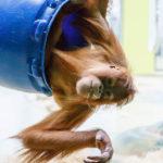 Ein junger Orang-Utan im Tierpark Hellabrunn