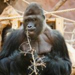Ein Gorilla im Tiergarten Prag
