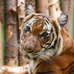 Ein Tiger im Tiergarten Prag