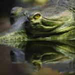 Ein Krokodil im Tiergarten Prag