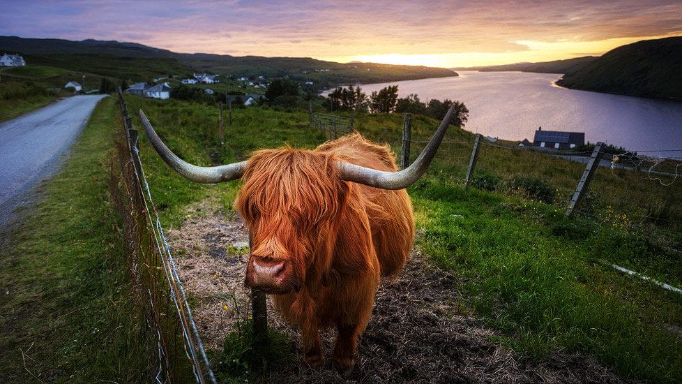 Hochlandrind in Schottland
