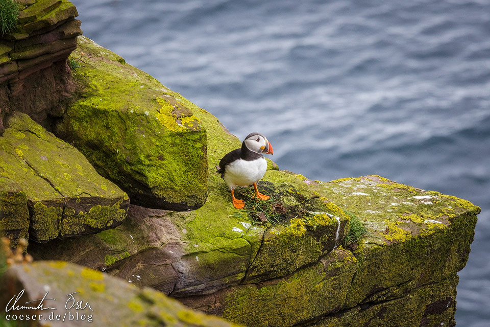 Papageientaucher auf der Insel Handa Island in Schottland