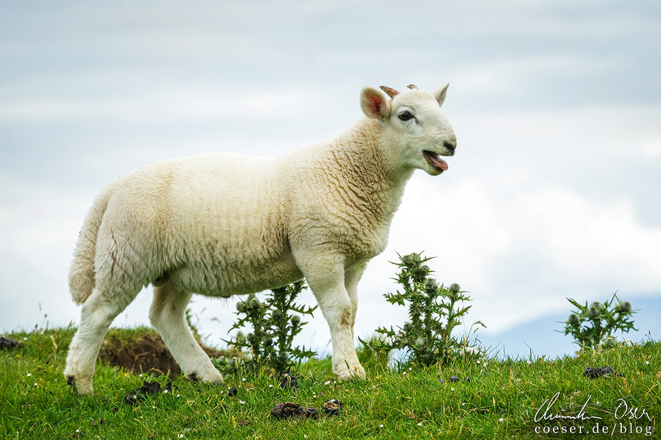 Schafe in Schottland