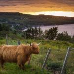 Schottisches Hochlandrind im Sonnenuntergang, dahinter Loch Harport im Sonnenuntergang