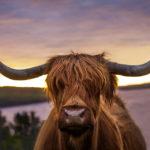 Schottisches Hochlandrind im Sonnenuntergang