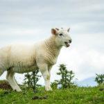 Entzückende Schafe am Neist Point