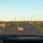 Schafe auf der Single Track Road kurz vor dem Duncansby Head