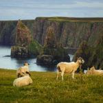 Schafe im Sonnenuntergang am Duncansby Head vor den Duncansby Stacks