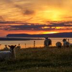 Schafe im Sonnenuntergang am Duncansby Head