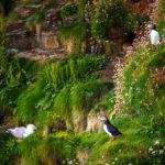 Möwen und ein Papageientaucher an der Felsküste am Duncansby Head