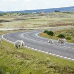 Schafe mitten auf der Straße in den schottischen Highlands
