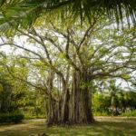 Im Inneren der Insel Meeru (Malediven) gibt es faszinierende Bäume zu entdecken