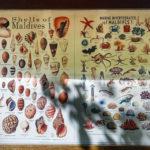 Auf der Insel Meeru (Malediven) gibt es Dutzende verschiedene Muscheln zu entdecken