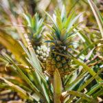 Detailansicht einer Ananasplantage auf Mauritius