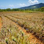 Eine Ananasplantage auf Mauritius
