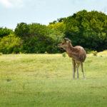 Versteckter Weideplatz von Javahirschen auf Mauritius
