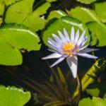 Wasserlilie im SSR Botanischen Garten auf Mauritius