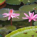 Wasserlilien im SSR Botanischen Garten auf Mauritius