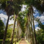Palmenreihe im SSR Botanischen Garten auf Mauritius
