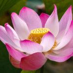 Eine Lotusblüte im SSR Botanischen Garten auf Mauritius