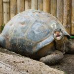 Eine Riesenschildkröte im SSR Botanischen Garten auf Mauritius