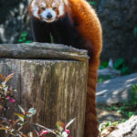 Kleiner Panda im Smithsonian's National Zoo