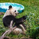 Ein Großer Panda im Smithsonian's National Zoo