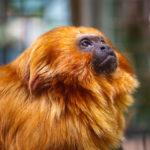 Ein Goldenes Löwenäffchen im Smithsonian's National Zoo