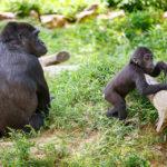 Gorilla mit Nachwuchs im Smithsonian's National Zoo