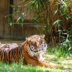 Tiger im Smithsonian's National Zoo
