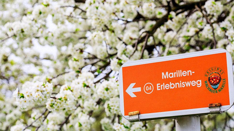Marillenweg in der Wachau