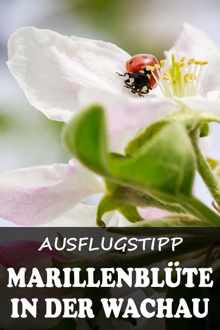 Marillenblüte in der Wachau: Reisebericht mit Erfahrungen zu den Orten Dürnstein, Weißenkirchen und Spitz an der Donau.