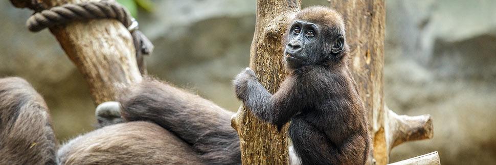 Babyschimpanse im Zoo von Leipzig