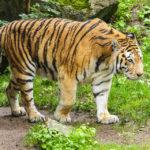 Tiger im Leipziger Zoo